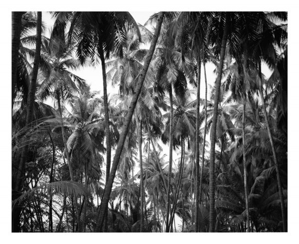 Kerala palm trees, fine art print available for sale.