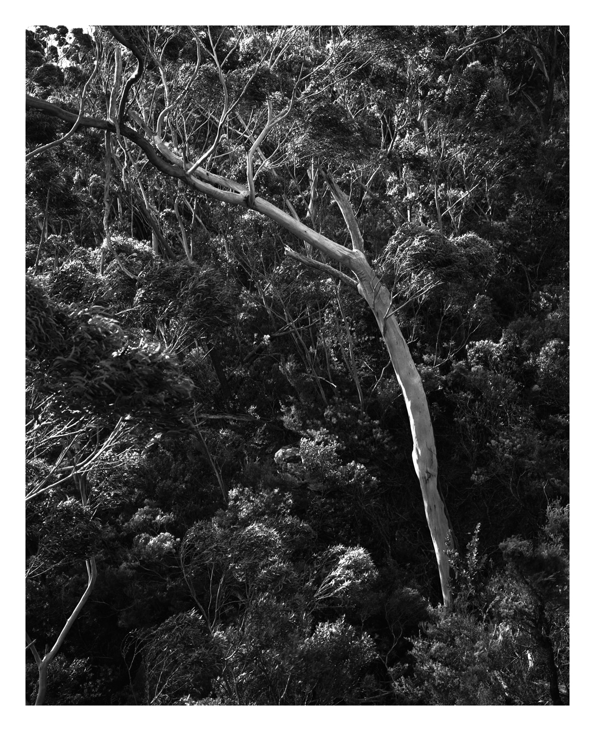 Gumtree #1 fine art print, Blue Mountains by Damien Milan.