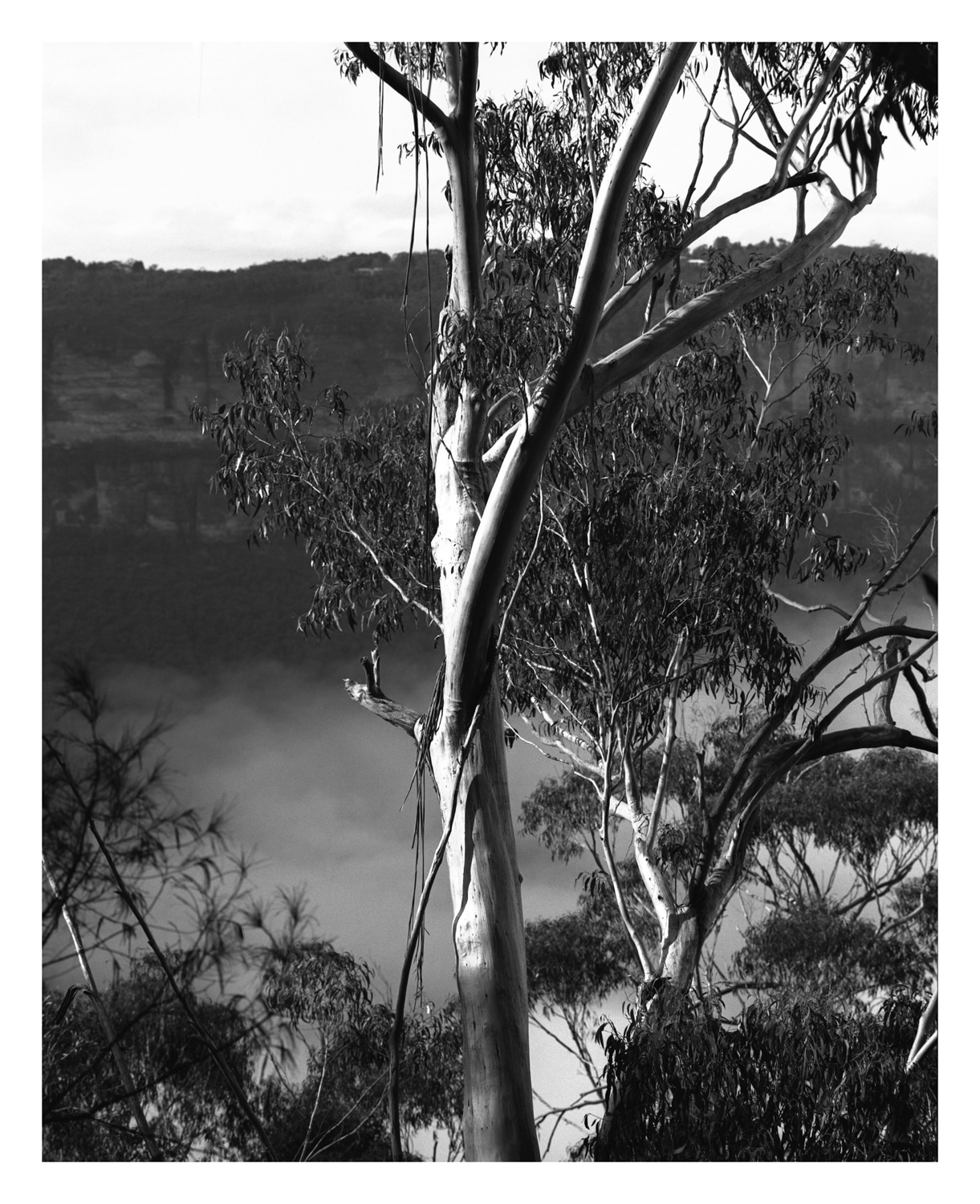 Gumtree #2 fine art print, Blue Mountains by Damien Milan.