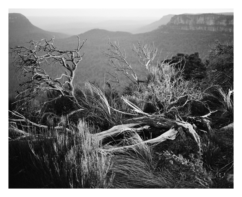 Still life with She Oak, Katoomba Blue Mountains
